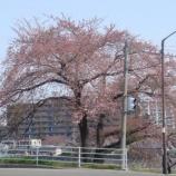 『わが家の桜10 7』の画像