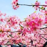 『桜咲き始めました』の画像