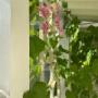 *まるで蛍光ピンクの藤のよう!``クイーンネックレス''|こたつ
