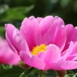 『神聖な植物「芍薬」』の画像