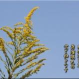 『背高泡立草』の画像