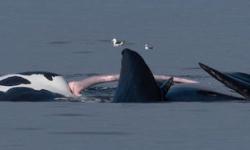 4mのアレを持つミナミセミクジラ!睾丸の重さなんと…?アルゼンチン