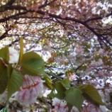 『八重桜はまだまだ見ごろ』の画像