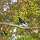 『カラス ~庭に来る野鳥~ 』の画像