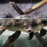 『斟酌と忖度:カモノハシ絶滅寸前』の画像