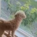 イヌが窓の外を眺めていた。あ! 郵便屋さんがきたぁ♪ → 犬はいつもこうします…