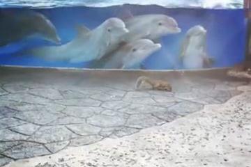 【動画】イルカ「おいリスが居るから来いよ」→ワラワラ集まる 水族館のイルカたちがリスに興味津々に