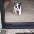 子イヌが部屋の中から走ってくる。テクテクテク、とうっ! → こうなっちゃう…