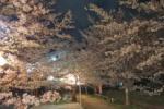 妙見さんの桜が満開でものごっついことになってる!~交野八景の妙見河原の桜~