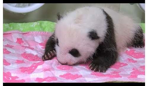 海外「可愛すぎて気絶しそう」上野動物園の赤ちゃんパンダに海外ユーザー劇萌え