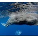 救助されたマッコウクジラ、ロープに引っかかり再び救出