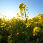 『吾妻山公園・菜の花撮影へ』の画像