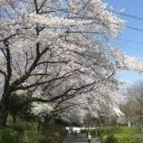 『【早稲田2】春に舞う、sakuraたち』の画像