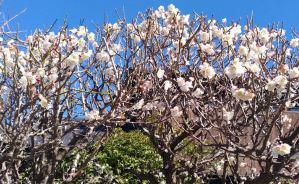 「庭の老木の梅も今が満開か」