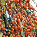 『たわわに実る枝垂れ柿(しだれがき )滋賀竜王の山里にて』の画像