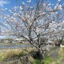 桜2020。川沿いの桜。