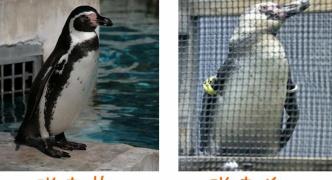 【動物愛護】学生、ペンギン盗み海へ放す=水族館「野生では暮らせないのに」 学生「ペンギンのためにやった」 南ア