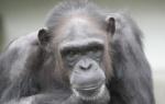 チンパンジーをナメてはいけない