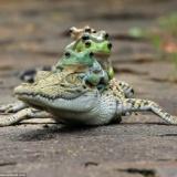 【悲報】カエルさん、調子に乗ってしまうwww