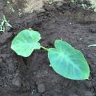 『里芋』の画像