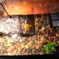 カメの赤ちゃんのお引越し?いつもの池で見つけた子ガメに水槽のおうちを用意してみた