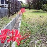 『戸田市万葉の花の道に彼岸花が咲いていました』の画像