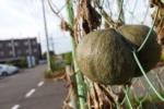 フェンスに『カボチャ』がギッチギチに挟まってて取れなくなってる!~倉治。第二京阪国道下のフェンス~