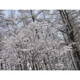 『木々には雪の花が咲きました』の画像