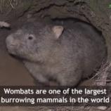 『【奇跡】オーストラリア火災でウォンバットが他の動物たちを自分の巣へ避難させている』の画像