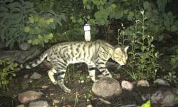オーストラリアの野良猫、毎日100万匹以上の爬虫類を 研究