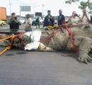 【画像】今月にパナマ運河で捕獲されたワニがでかすぎて驚愕だと話題