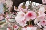 武道館のところの桜が満開!今年も早めに開花してる!