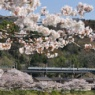 上野原の桜 Uenohara