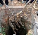 【ニャー】井戸に落ちたヒョウを救出