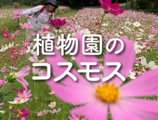 植物園のコスモスが見頃になってる!〜お花畑ムードがすごい〜