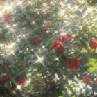 『春は椿・10  光のなかで』の画像