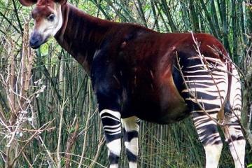 世界三大珍獣 オカピの生態と動画