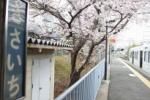 交野の桜を訪ねてみた④~京阪電車私市駅ホーム~