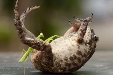 カマキリとかいうクッソ強い昆虫wwwwww