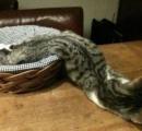 猫の液状化が止まらない!(画像あり)