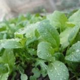 『青菜・ノビル』の画像