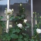 『(´・ω・`)広島ばら園のパスカリ』の画像