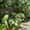 *グリーンアイスの花壇も白いモルタルに♪&剪定と有機肥料