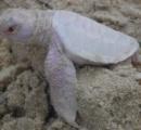 【画像】珍しい白いアオウミガメが可愛い