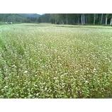 『開田〓蕎麦の花』の画像