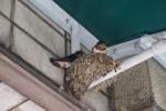 『たけだ動物病院』の軒下でツバメが巣立ち間近になってるけど親鳥に依存しすぎな気もする!