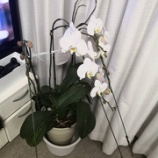 『胡蝶蘭、そして2度咲き』の画像