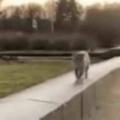 ネコと犬がいっしょに「散歩」していた。曲がりま~す♪ → 小走りな2匹はこんな感じ…