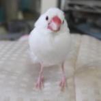 白文鳥を育てよう