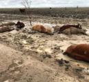 オーストラリアで「死んだ牛の海」が目撃される